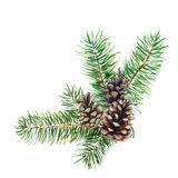 The branch of fir tree with cones on white background, watercolor illustration. The branch of fir tree with cones on white background, watercolor illustration Royalty Free Stock Photos