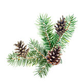 The branch of fir tree with cones on white background, watercolor illustration. The branch of fir tree with cones on white background, watercolor illustration Royalty Free Stock Photography