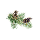 The branch of fir tree with cones on white background, watercolor illustration. Stock Photography