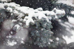Branch of fir tree in snow Stock Photo