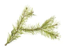 Branch of fir tree. Watercolor image of branch of fir tree on white background Royalty Free Stock Photography