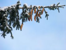 Branch of fir under the snow Stock Photos