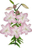 branch with five light pink lily blooms Royalty Free Stock Images