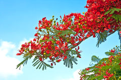 Branch Flame tree delonix regia Royalty Free Stock Photography