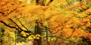 Branch of flames. A maple tree branch and golden leaves is captured as a blur of color. The motion of the leaves and bright yellow and orange colors resembles stock photography