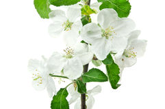 Branch flower blossom Royalty Free Stock Photos
