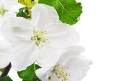 Branch flower blossom Royalty Free Stock Photo