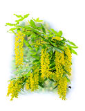 Branch of flowering yellow acacia isolated on white background Stock Image
