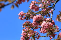 A branch of a flowering almond. Pink flowering almonds on a background of blue sky Stock Photos