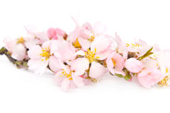 A branch of flowering almonds. Royalty Free Stock Photography
