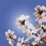 Branch of a flowering almonds on a background sky royalty free illustration
