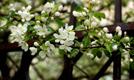 Branch of the flowering apple tree. Spring. A branch of the apple tree with young green leaves and gentle white colors Stock Image