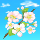 Branch of a flowering apple tree Stock Images