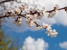 Branch of spring flowering apple tree with blue sky background Stock Images