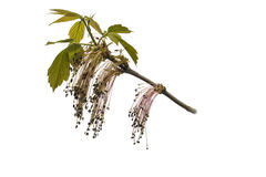 The branch of a flowering ash. Object on a white background Royalty Free Stock Image