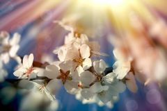 Branch of flowering blooming fruit tree - waking up nature in spring. New life begins, beautiful nature Stock Image