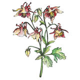 The branch flowering blue Aquilegia common names: granny`s bonnet or columbine. Hand drawn graphic and watercolor painting illustration on white background stock illustration
