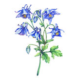 The branch flowering blue Aquilegia common names: granny`s bonnet or columbine. Watercolor hand drawn painting illustration on white background vector illustration