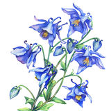The branch flowering blue Aquilegia common names: granny`s bonnet or columbine. Watercolor hand drawn painting illustration on white background stock illustration