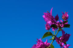Branch of flowering Bougainvillea against clear sky Royalty Free Stock Images