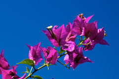 Branch of flowering Bougainvillea in bloom against clear sky Royalty Free Stock Photos