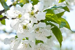 A branch of flowering cherry with blossoming white flowers.  royalty free stock photos