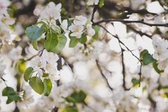 A branch of a flowering cherry Bush 6675. Spring cherry tree in all its glory Royalty Free Stock Image