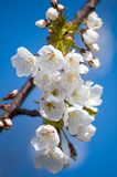 Branch of flowering cherry wood. White petals of a flowering cherry. stock photos