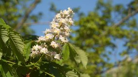 A branch of flowering chestnut. Spring flowers stock video
