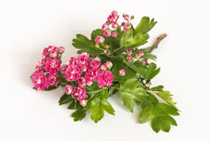 Branch of a flowering Crataegus, pink. Plants and flowers. Pink flowers of Crataegus pink on a white background Stock Image