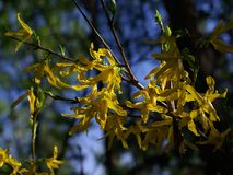 Flowering branch. Yellow flowers. Forsythia. royalty free stock images