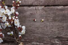 A branch of a flowering fruit tree lies on a wooden table. Textured wooden background on which lies a flowering branch of apricots stock photography