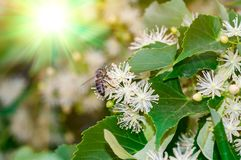 Branch of flowering Linden at the morning. stock photo