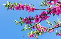 A branch of flowering peach against a blue sky stock image