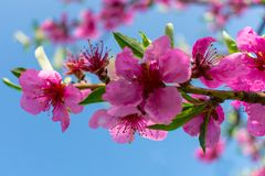 A branch of flowering peach against a blue sky stock photography