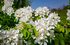 Branch of a flowering pear tree Stock Image