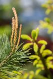 Branch of flowering pine royalty free stock photography