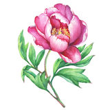 The branch flowering pink peony, isolated on white background. Royalty Free Stock Photos