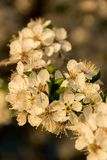 Spring flowering plant closeup. A branch of a flowering plant in spring. Many white flowers with pollen stock photo