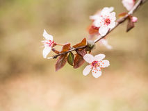 Branch of Flowering Plum Blossoms Stock Photography