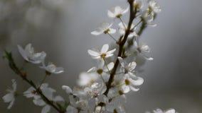 Branch of flowering plum in sunlight.