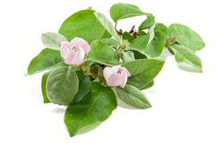 Branch of a flowering quince Royalty Free Stock Images