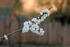 Flowering of tree a spring for text. Branch flowering spring apricots for text royalty free stock image