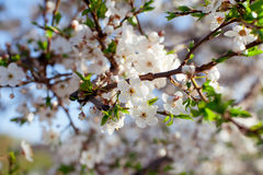 Branch of flowering tree Royalty Free Stock Photo