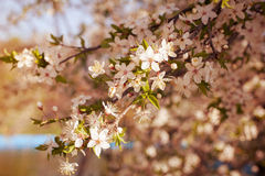 Branch of flowering tree Royalty Free Stock Images