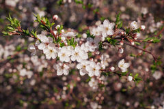 Branch of flowering tree Stock Photography