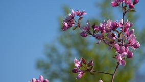 A branch of a flowering tree. Red flowers stock footage