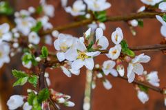 White pink flowers on a tree close-up. Branch of a flowering tree close-up Royalty Free Stock Image