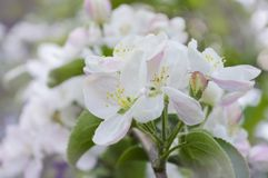 White pink flowers on a tree close-up. Branch of a flowering tree close-up Royalty Free Stock Photos