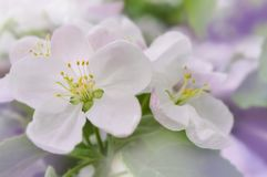 White pink flowers on a tree close-up. Branch of a flowering tree close-up Royalty Free Stock Photo